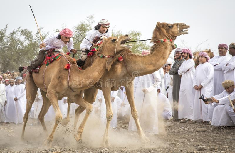 omani men getting ready to race their camels on a dusty countryside road stock image