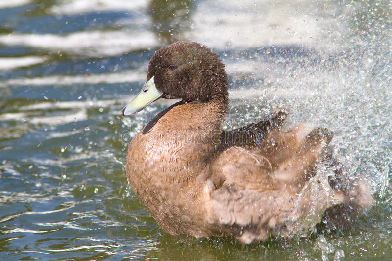 Khaki Campbell duck. A male of Khaki Campbell duck on water royalty free stock images