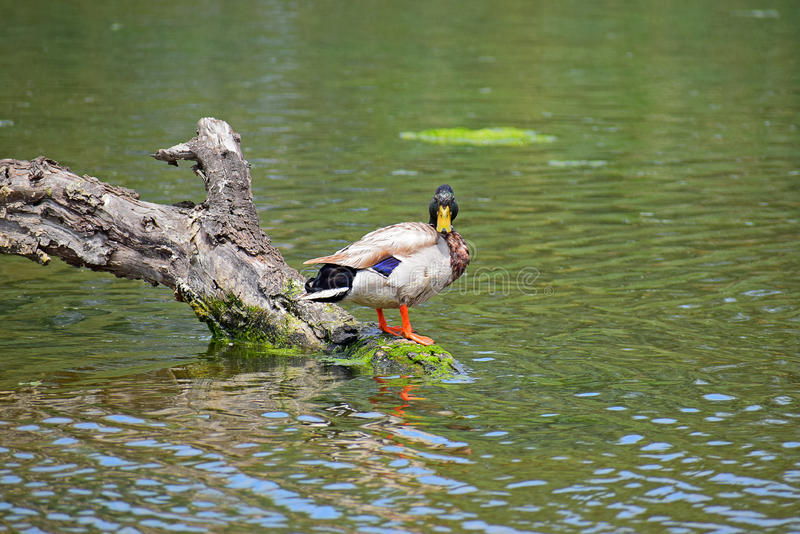 Khaki Campbell Duck. A male khaki Campbell duck sitting on a log in a duck pond stock image