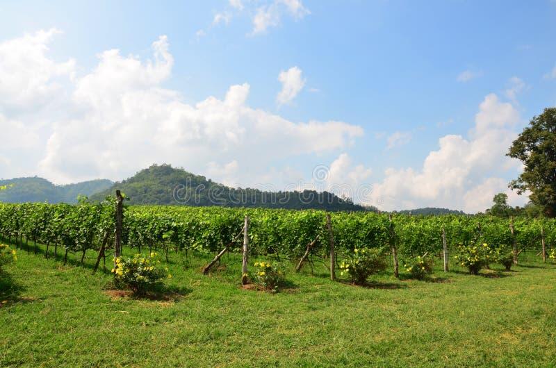 Khao的亚伊葡萄庭院 免版税库存照片