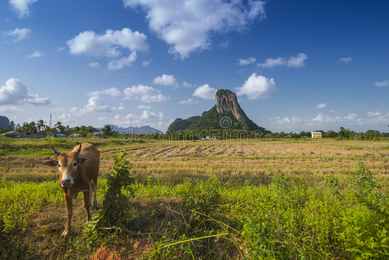 Khao Aok talu. Mountain is landmark in Phatthalung province name Khao Aok talu The Hole Mountain with cow royalty free stock photos