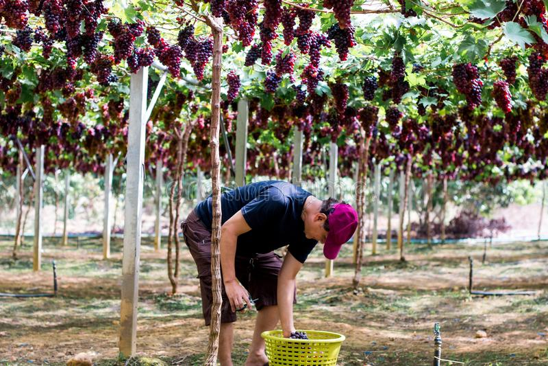 Khaoyai, Tailandia - 31 dicembre 2017: Scelta del giardiniere e tagliare una frutta organica dell'uva in vigna fotografia stock