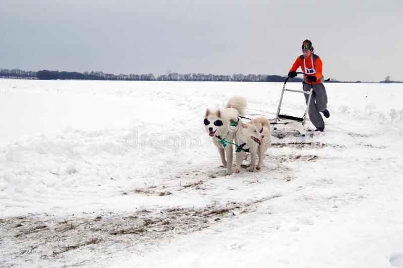 Kharkiv - Januari 14: Slädehund Racing Idrottsmankörningar dogsled på s royaltyfri foto