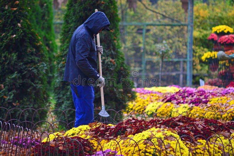 Kharkov, Ukraine - 22 october, 2019: Gardener cleans leaves from flowers in autumn garden stock photos