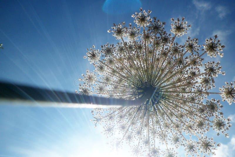 KHELLA Flor del visnaga de Ammi El tirar de abajo hacia arriba imagen de archivo libre de regalías