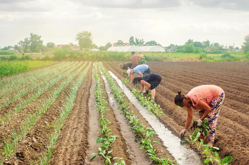 KHERSON, УКРАИНА - 29-ое июня 2019: работники на поле Засаживать капусту саженцев Агро-индустрия в странах третьего мира, работа стоковые фотографии rf
