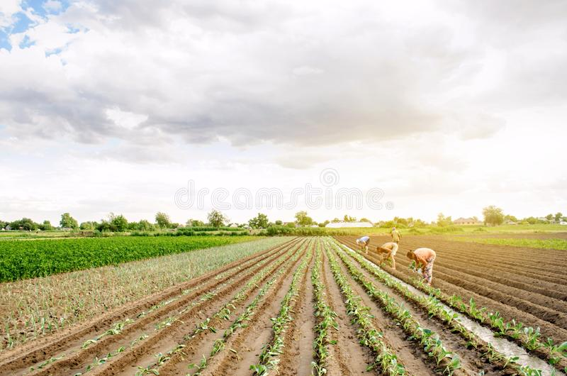 KHERSON, UCRÂNIA - 29 de junho de 2019: trabalhadores no campo Plantando a couve das plântulas Agroindústria nos países do tercei imagem de stock