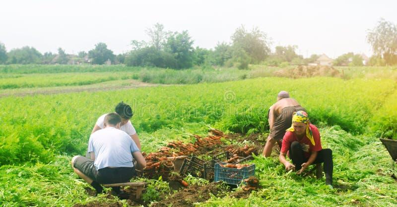 KHERSON, UCRANIA - 7 de junio de 2019: trabajadores en el campo Cosecha de la zanahoria Agroindustria en los países del tercer mu fotografía de archivo libre de regalías