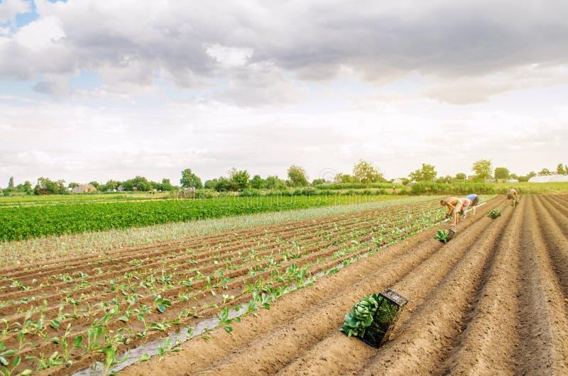 KHERSON, UCRANIA - 29 de junio de 2019: trabajadores en el campo Establecimiento de la col de los almácigos Agroindustria en los  foto de archivo libre de regalías