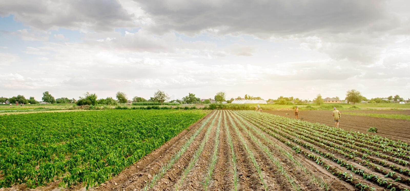 KHERSON UKRAINA - Juni 29, 2019: arbetare på fältet Plantera plantakål Agro-bransch i tredje världenländer, arbete arkivbild