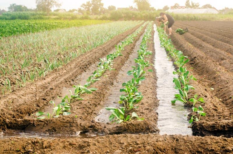 KHERSON, UKRAINE - 29 juin 2019 : travailleurs sur le champ Plantation du chou de jeunes plantes Agro-industrie dans des pays du  image stock