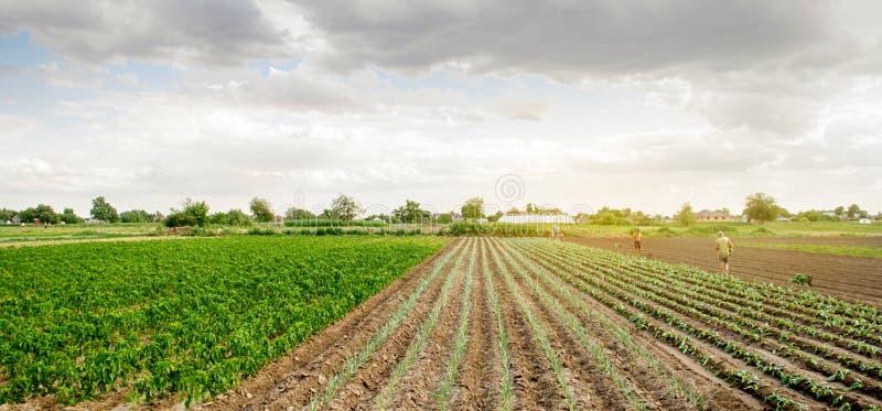 KHERSON, UKRAINE - 29 juin 2019 : travailleurs sur le champ Plantation du chou de jeunes plantes Agro-industrie dans des pays du  photographie stock