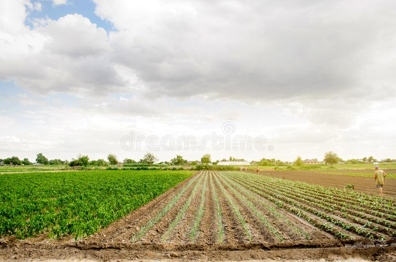 KHERSON, UKRAINE - June 29, 2019: workers on the field. Planting seedlings cabbage. Agro-industry in third world countries, labor. Migrants. Family farmers stock photography