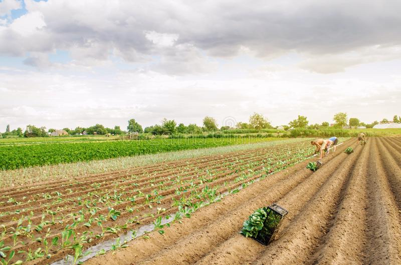 KHERSON, UKRAINE - June 29, 2019: workers on the field. Planting seedlings cabbage. Agro-industry in third world countries, labor. Migrants. Family farmers royalty free stock photo