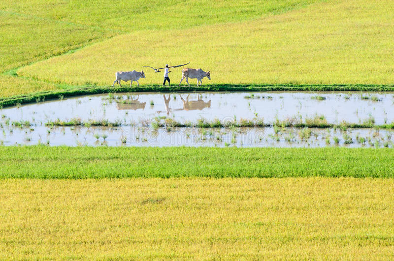 Download Khmer Farmer And Cows Walking On Rice Field In The Early Morning Stock Image - Image: 33903351