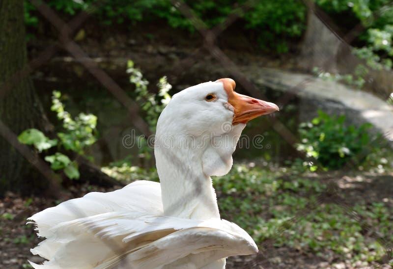 Kholmogory goose behind bars in captivity. Kholmogory goose (rare Russian breed) behind bars in captivity stock photography
