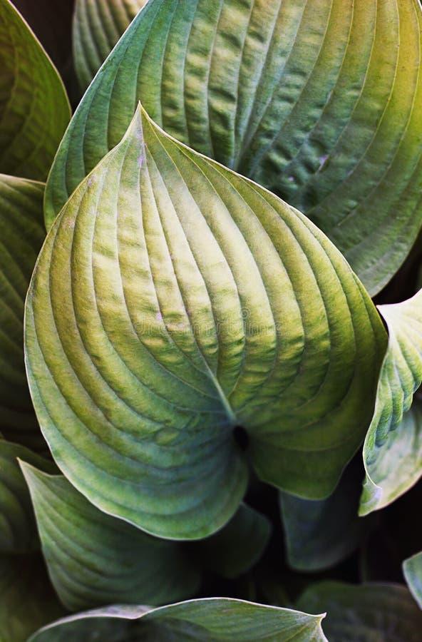 Khosta Kolorowi liście roślina zamknięta w górę zdjęcia stock