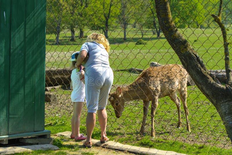 Khust, Ukraine - 28 avril 2018 Une petite fille alimente un jeune dee photos stock
