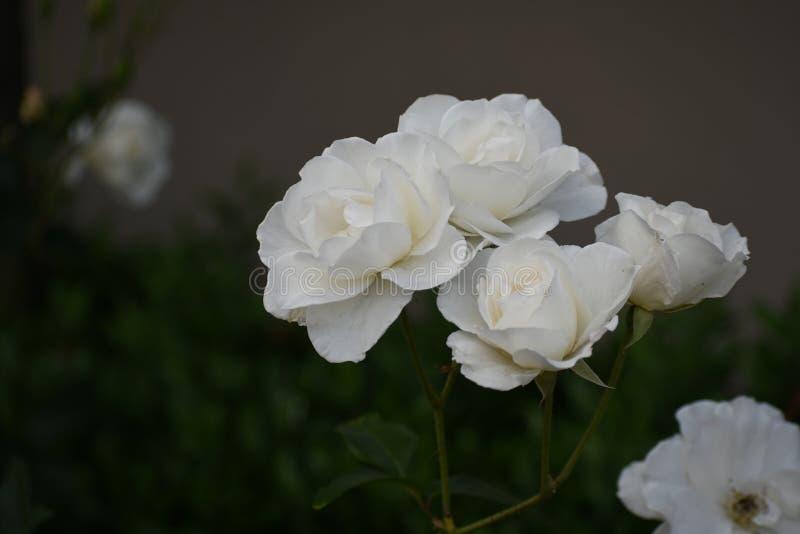 Kiść białe floribunda róże kwitnie w ogrodowym położeniu obraz royalty free