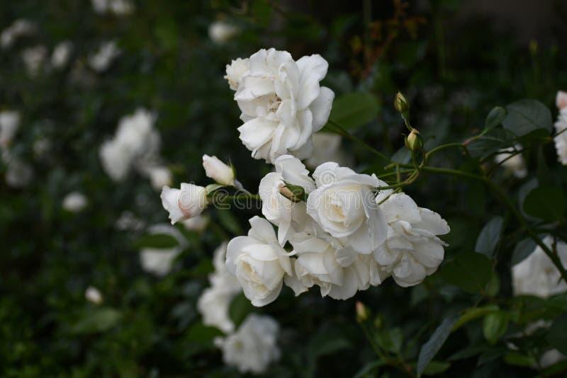 Kiść białe floribunda róże kwitnie w ogrodowym położeniu fotografia stock