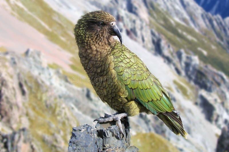 Kia (de papegaai van Nieuw Zeeland) royalty-vrije stock foto