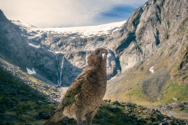 Kia, Neuseeland-` s gebürtiger Papagei vor Schnee-mit einer Kappe bedecktem Berg T stockbild