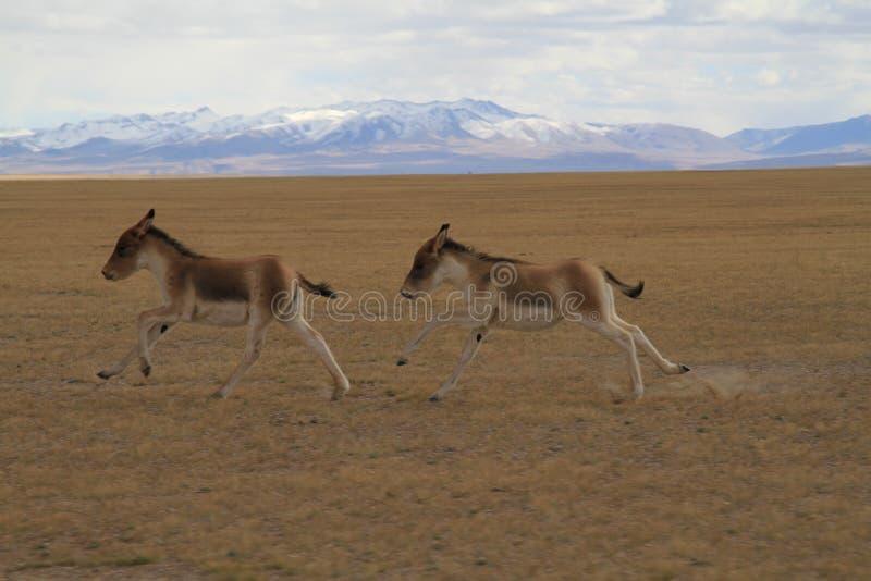 Kiang d'Equus image libre de droits