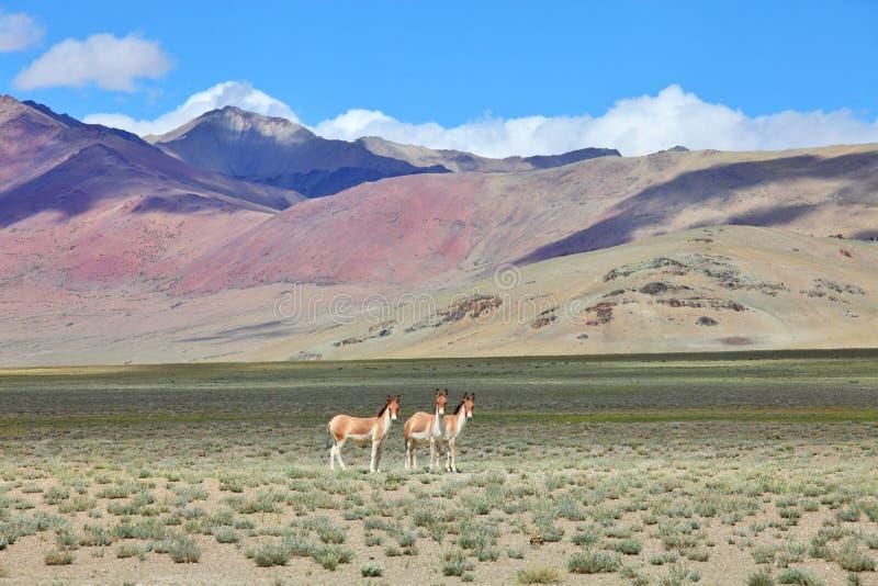 Kiang (kiang) Equus - тибетский одичалый ишак стоковые изображения rf