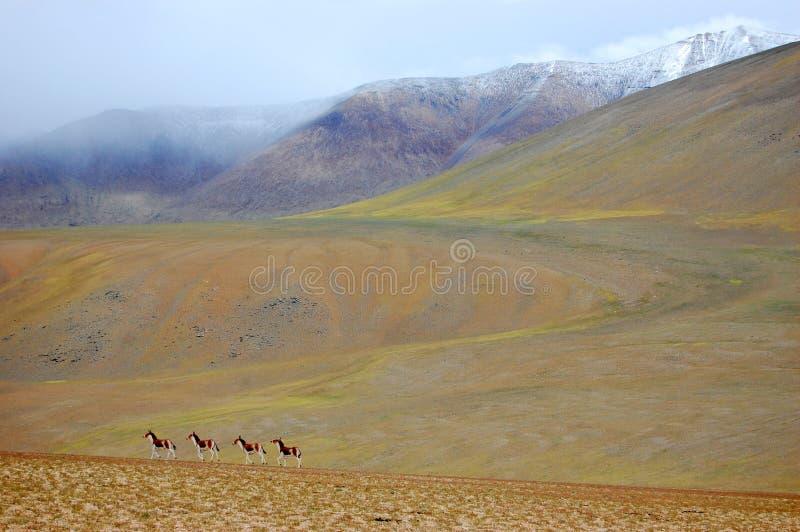 Kiang salvaje (asno tibetano) imagen de archivo