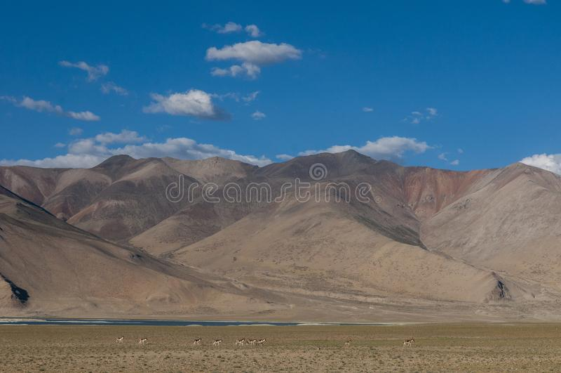 Kiang Scape seent au lac Tsokar photographie stock
