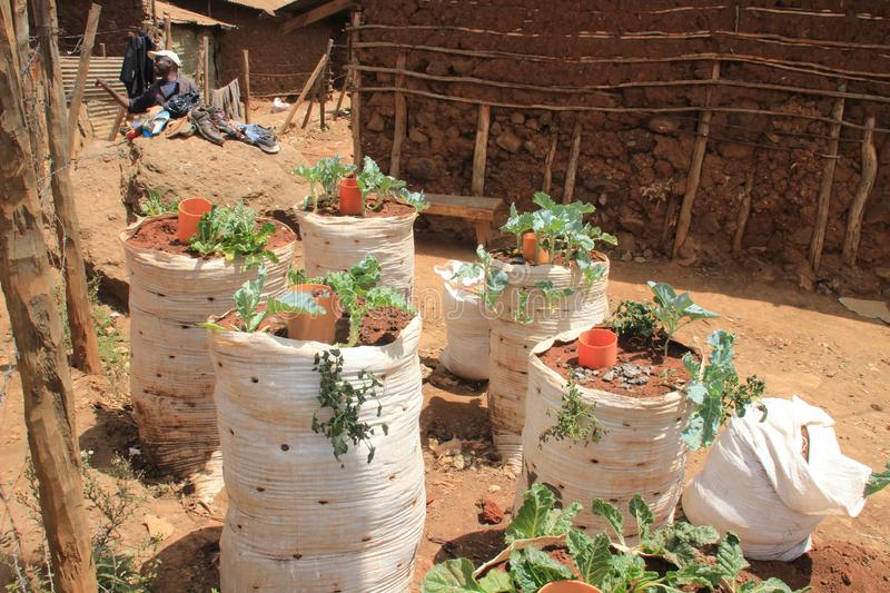 Growing vegetables in ground packs in Nairobi slums is one of the poorest places in Africa royalty free stock photo