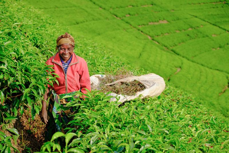 Kibuye/Rwanda - 08/26/2016: Afrikaanse vrouwenarbeider die thee verzamelen stock afbeeldingen