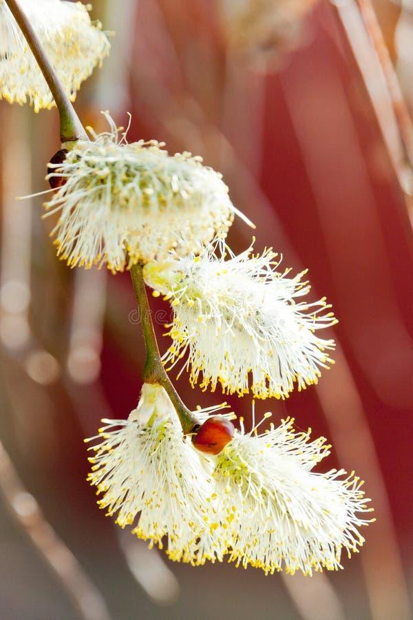 Kici wierzby bazia, Salix Caprea - skacze w ogródzie obrazy stock