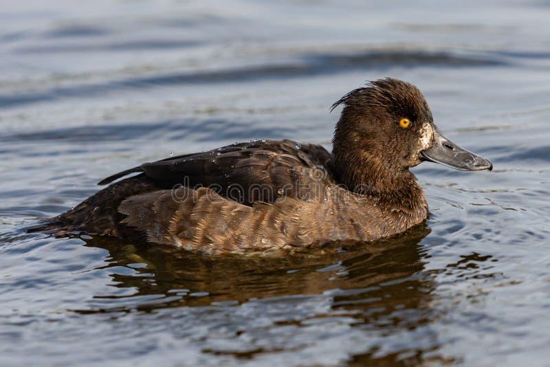 Kiciasta kaczka przy lokalnym jeziorem w Dani! zdjęcie stock