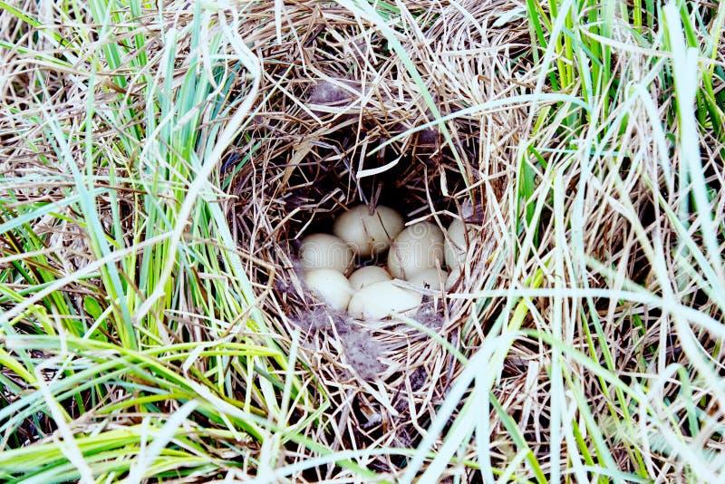 Kiciasty kaczki gniazdeczko (Aythya fuligula) obraz stock