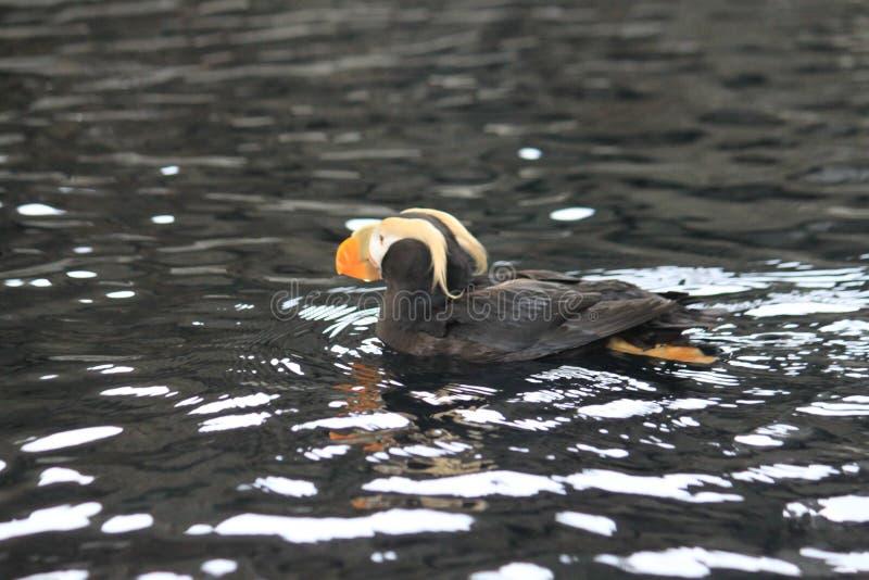 Kiciasty maskonur na pływaniu fotografia stock
