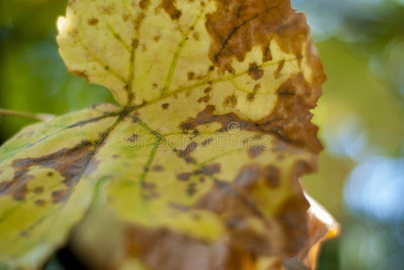 Kick-Weinblätter im Sommer von Colomerus Vitis betroffen lizenzfreies stockbild