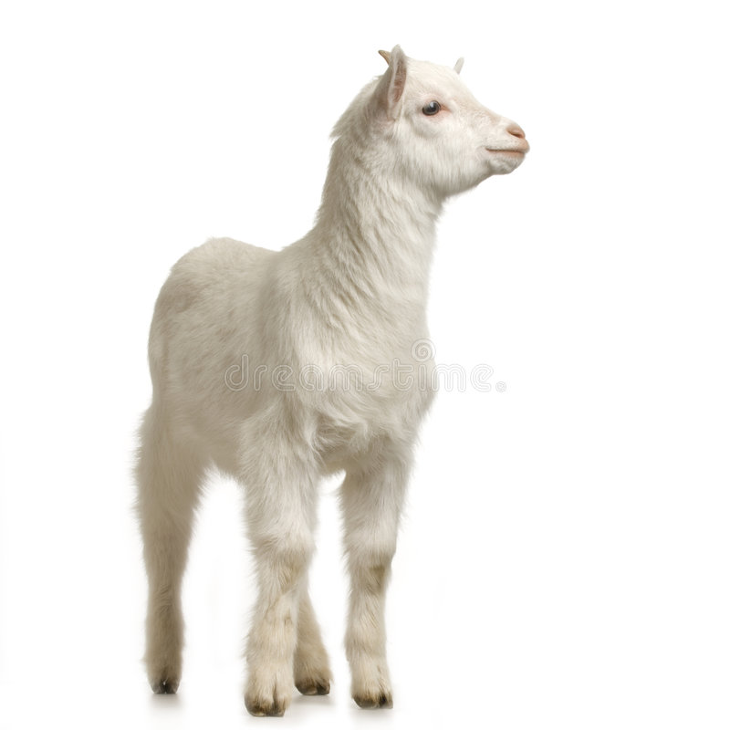 Download Kid stock image. Image of goatling, isolated, livestock - 2307213