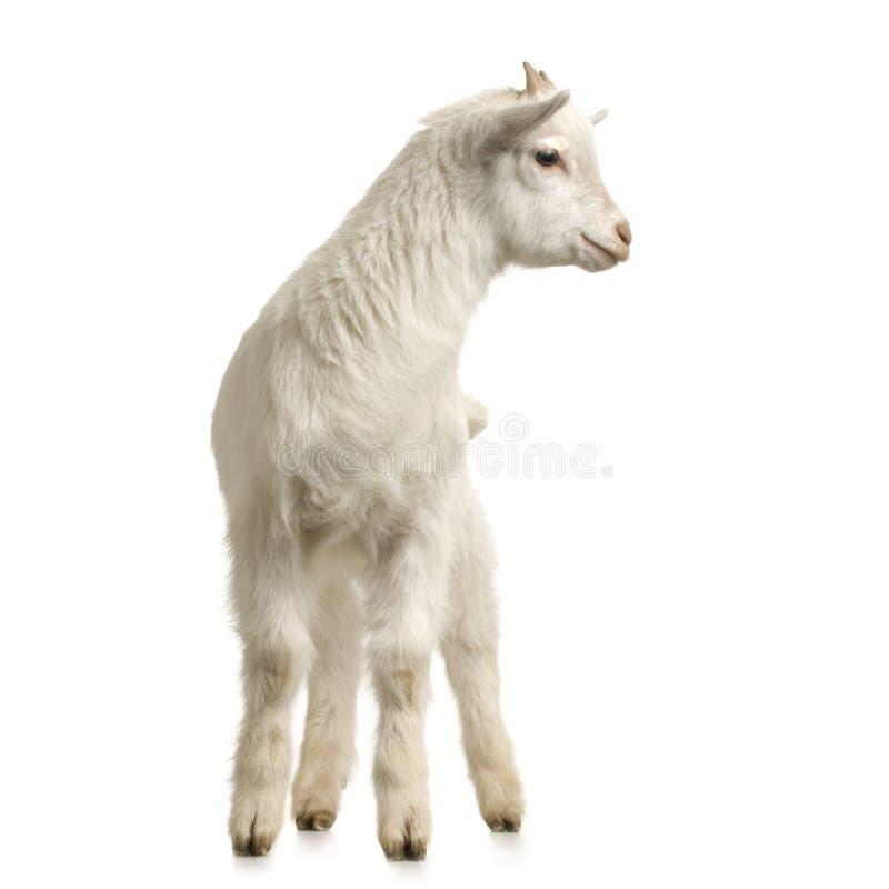 Download Kid stock image. Image of studio, farm, innocence, livestock - 2307221
