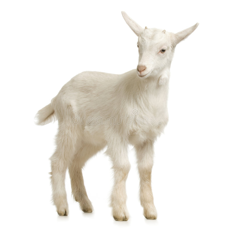 Download Kid stock photo. Image of mammal, farm, goatling, young - 2307268