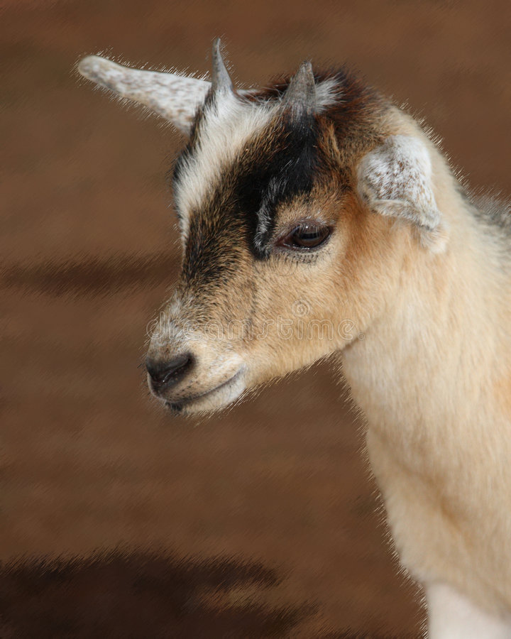 Download The Kid stock photo. Image of domesticated, goat, ruminants - 8046904