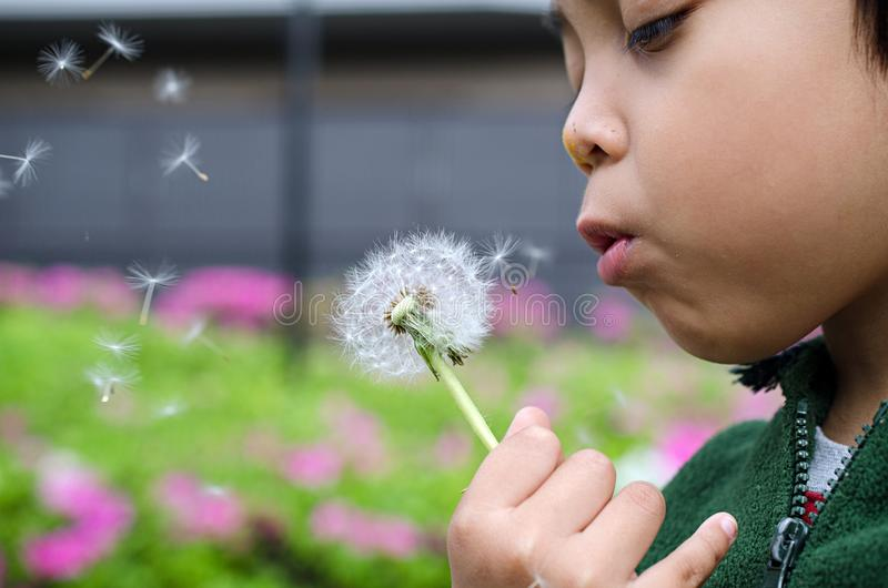 Kid boy blowing dandelions. In the spring royalty free stock photo