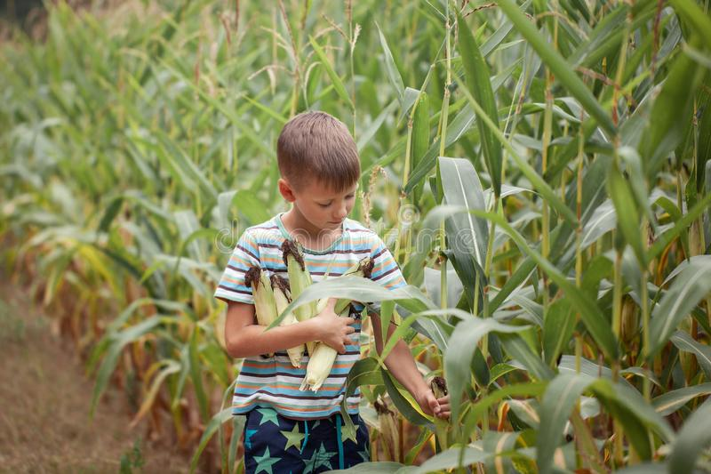 Kid boy holding and picking corn on farm in field, outdoors royalty free stock image