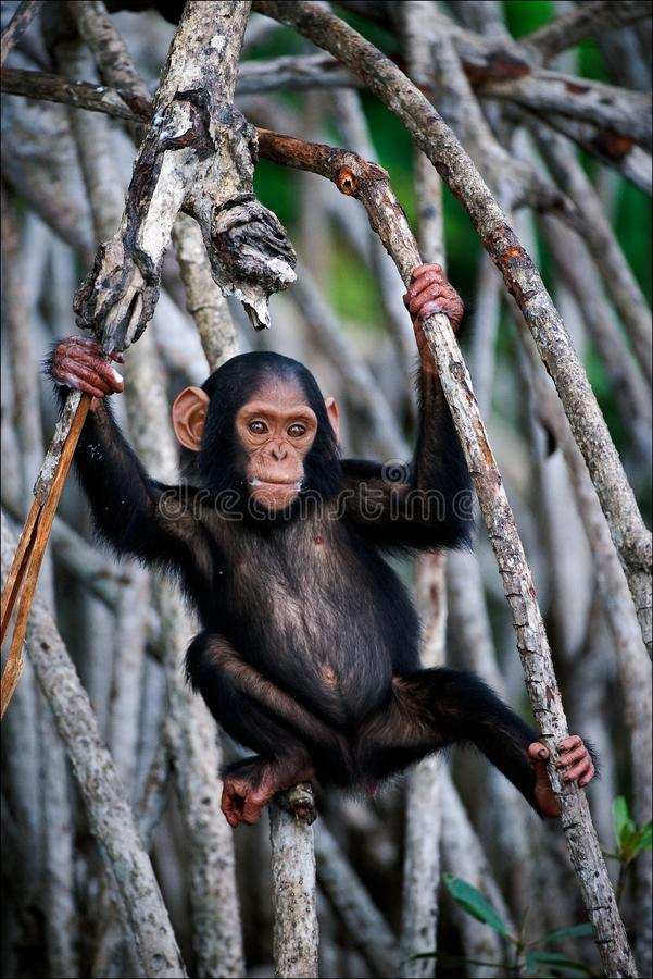 The kid of a chimpanzee. stock photo