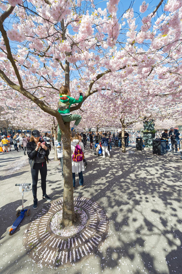 Kid climbing a pink cherry blossom tree during spring in Kungstradgarden royalty free stock photography