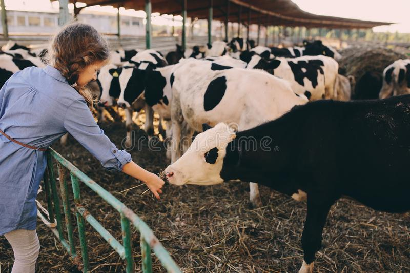 Kid girl feeding calf on cow farm. Countryside, rural living royalty free stock photography
