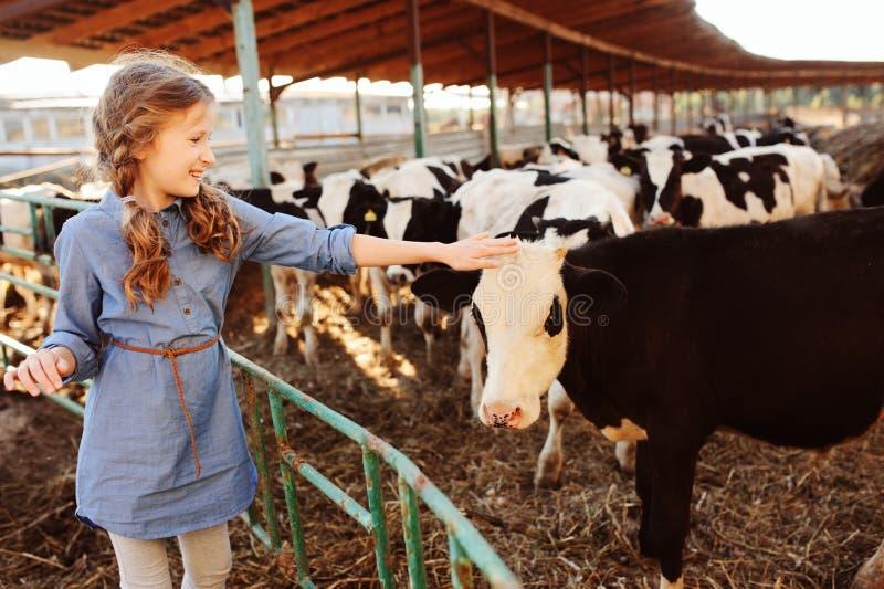 Kid girl feeding calf on cow farm. Countryside, rural living stock photo