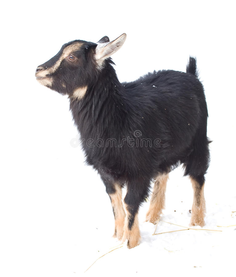 Free Kid Goat Royalty Free Stock Photography - 14377487