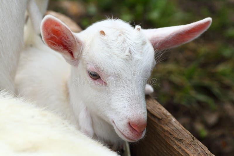 Download Kid goat stock photo. Image of goat, grass, mammal, farm - 20026676