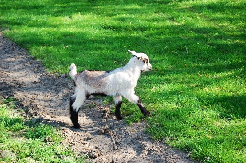 Kid Goat Free Stock Image